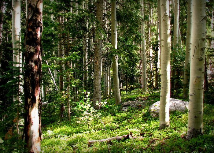 Sangre De Cristo Mountains Greeting Card featuring the photograph Santa Fe Aspen Woodland Forest by Aaron Burrows