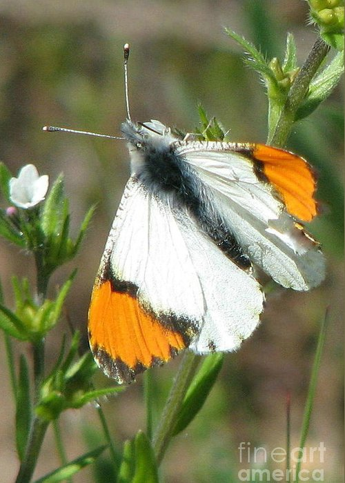 Sara Orangetip Butterfly Greeting Card featuring the photograph Sara Orangetip by Frank Townsley