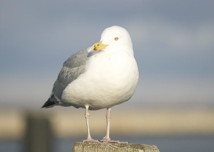 Seagulls Greeting Card featuring the photograph Say What by Eugene Bergeron