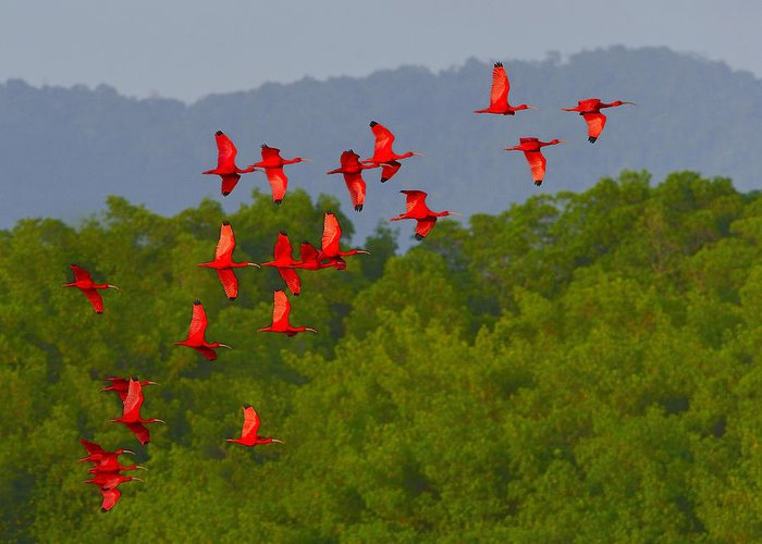 Scarlet Ibis Greeting Card featuring the photograph Scarlet Ibis by Tony Beck