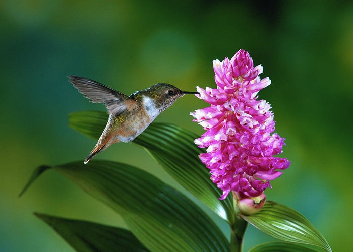 Close Up Greeting Card featuring the photograph Scintillant Hummingbird Selasphorus by Michael and Patricia Fogden