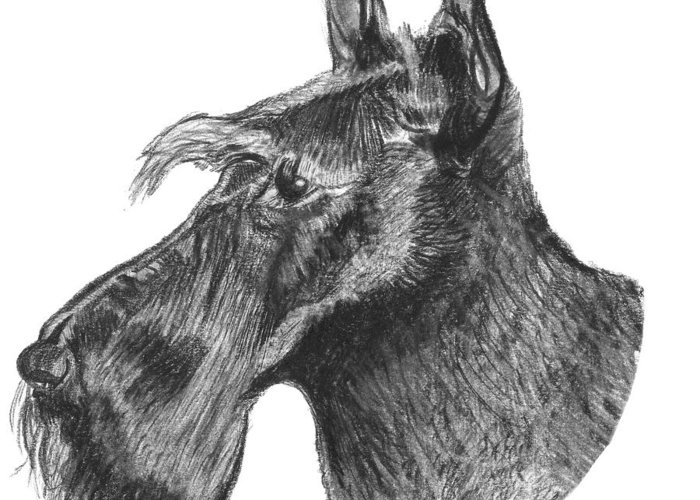 Scottie Dog Greeting Card featuring the drawing Scottish Terrier Dog by Catherine Roberts
