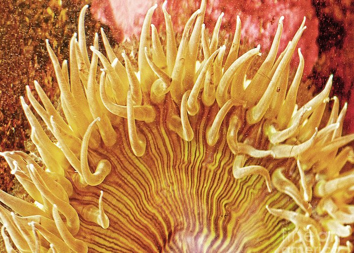 Ocean Art Greeting Card featuring the photograph Sea Anenome Stretch by Artist and Photographer Laura Wrede