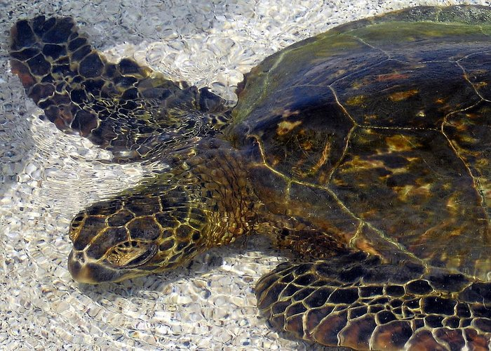 Turtle Greeting Card featuring the photograph Sea Life by Athala Bruckner