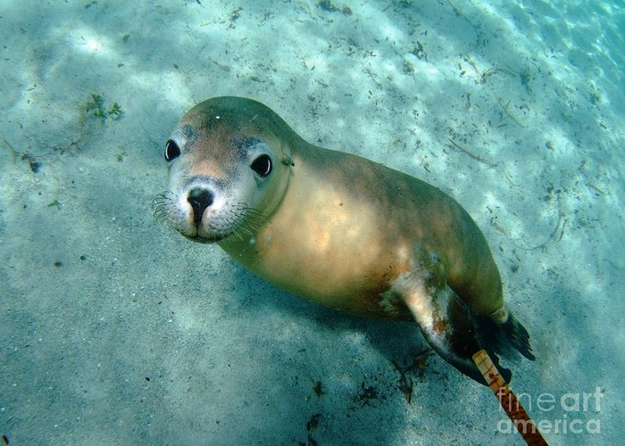 Australian Sea Lion Greeting Card featuring the photograph Sea Lion On The Seafloor by Crystal Beckmann