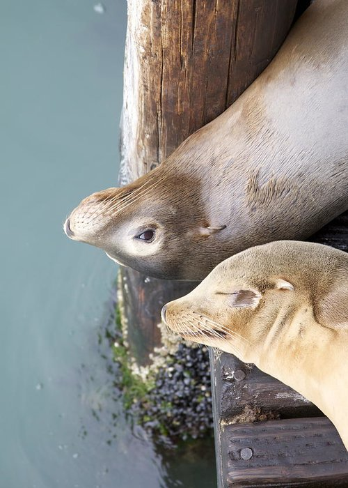 Sea Lions Greeting Card featuring the photograph Sea Lions by Ashley Balkan