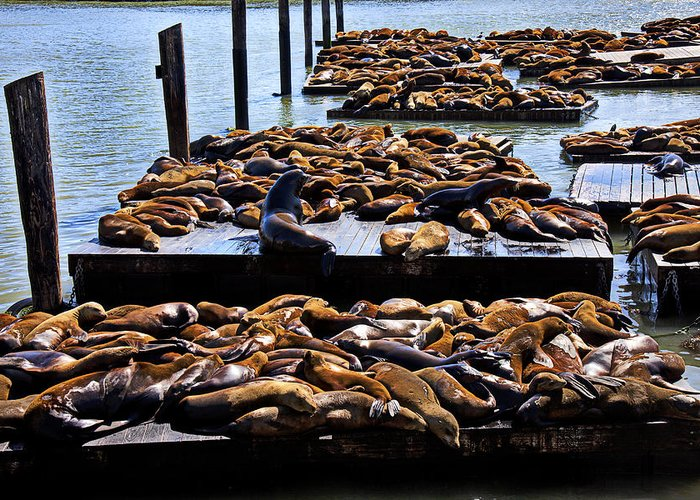Sea Lions Animal Mammal Sea Life Rest Resting Greeting Card featuring the photograph Sea Lions At Pier 39 by Garry Gay