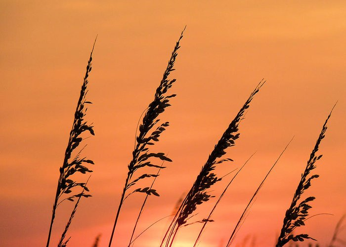 Sea Greeting Card featuring the photograph Sea Oat Sunset by JC Findley