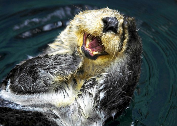 Sea Otter Greeting Card featuring the photograph Sea Otter by Fabrizio Troiani