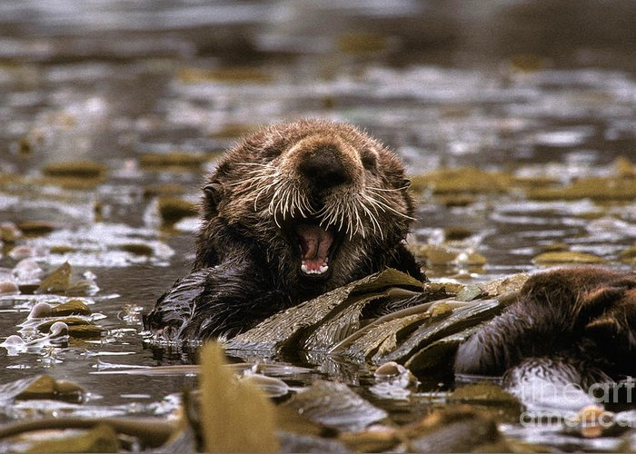 Fauna Greeting Card featuring the photograph Sea Otters by Ron Sanford