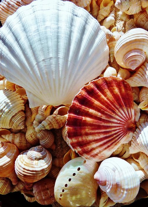 Tropical Seashells In Natural Sunlight Greeting Card featuring the photograph Sea Shells by Amar Sheow