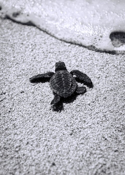 Baby Loggerhead Greeting Card featuring the photograph Sea Turtle by Sebastian Musial
