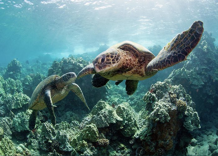 Underwater Greeting Card featuring the photograph Sea Turtles by M Swiet Productions