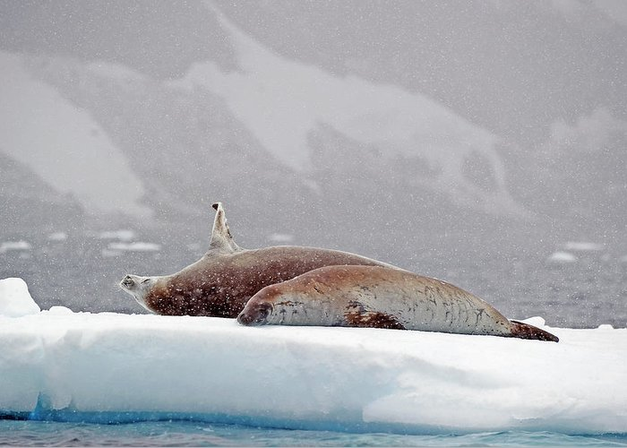 Animals In The Wild Greeting Card featuring the photograph Seals Laying On A Piece Of Ice by Jim Julien / Design Pics