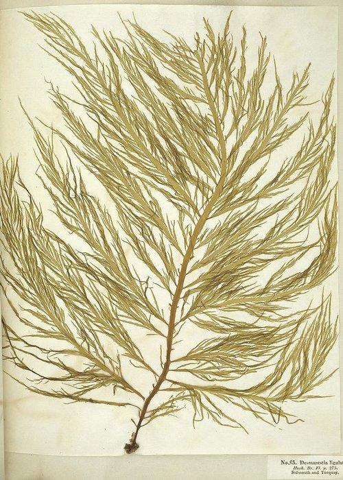 Alga Greeting Card featuring the photograph Seaweed (desmarestia Ligulata) by Science Photo Library