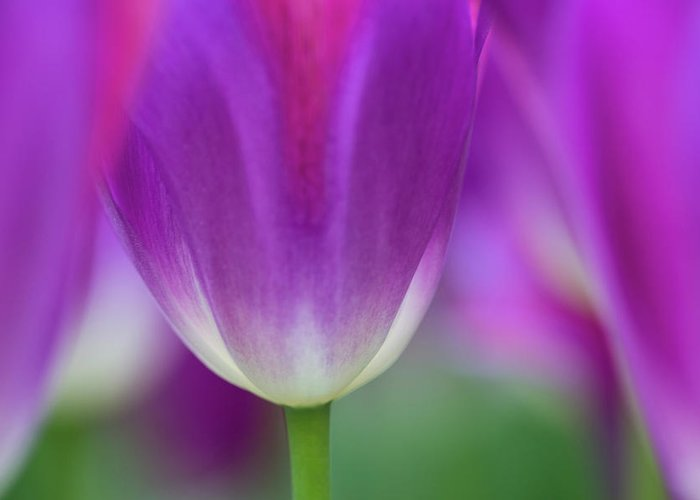 Purple Greeting Card featuring the photograph Selective Focus On Tulip Kuekenhof by Darrell Gulin