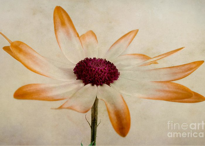 Pericallis Greeting Cards