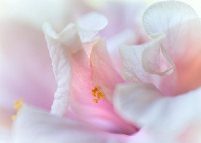 Hibiscus Greeting Card featuring the photograph Sensuality. Peach Hibiscus. Macro by Jenny Rainbow
