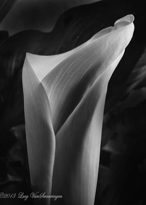 Calla Greeting Card featuring the photograph Sensuous Calla by Lucy VanSwearingen