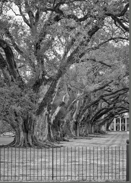 Oak Alley Plantation Greeting Card featuring the photograph Sentinels Monochrome by Steve Harrington