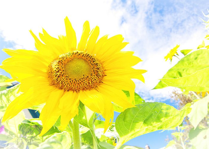 Sunflower Greeting Card featuring the photograph September Sun by Melissa Looman