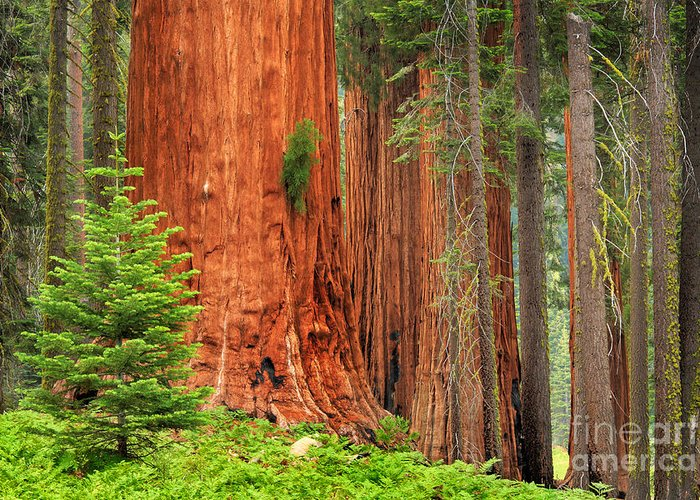 America Greeting Card featuring the photograph Sequoias by Inge Johnsson