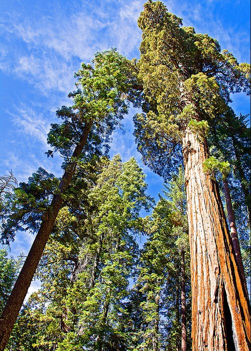 Sequoias Reaching To The Clouds In Mariposa Grove In Yosemite National Park Greeting Card featuring the photograph Sequoias Reaching To The Clouds In Mariposa Grove In Yosemite National Park-california by Ruth Hager