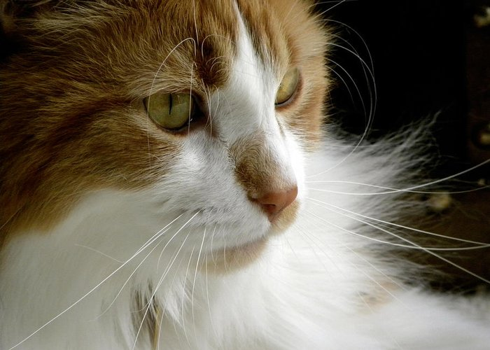 Maine Coon Cat Greeting Card featuring the photograph Serious Gato 1 by Julie Palencia