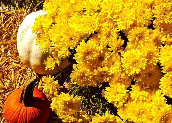 Mums Greeting Card featuring the photograph Shades Of Autumn by Randy Rosenberger
