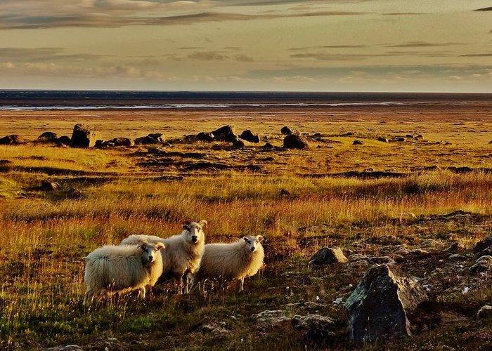 Sheep Greeting Card featuring the photograph Sheep At Sundown by Sarah Pemberton