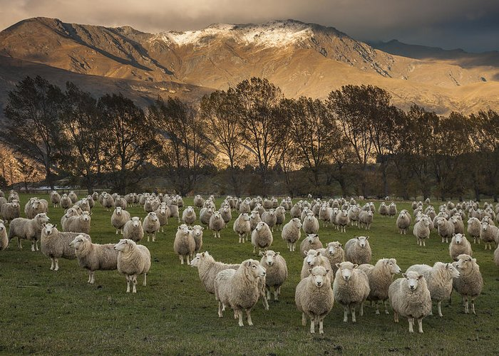 colin Monteath Hedgehog House Greeting Card featuring the photograph Sheep Flock At Dawn Arrowtown Otago New by Colin Monteath, Hedgehog House