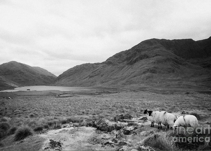 Ireland Greeting Card featuring the photograph sheep on rough ground Doulough County Mayo by Joe Fox