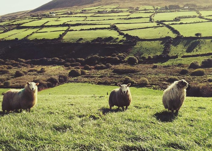 Pets Greeting Card featuring the photograph Sheep Standing In Field by Thomas Peham / Eyeem