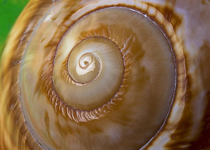 Shell Spiral Greeting Card featuring the photograph Shell Spiral by Garry Gay