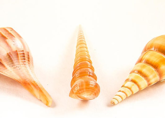 Shell Greeting Card featuring the photograph Shell Trio by Jean Noren