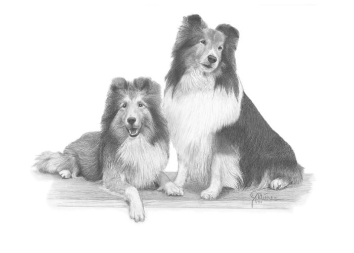 Pencil Drawing Print Greeting Card featuring the drawing Shelties by Joe Olivares