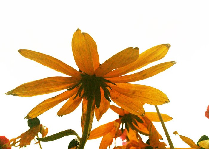 Flowers Greeting Card featuring the photograph Shine That Bright by Lucy D