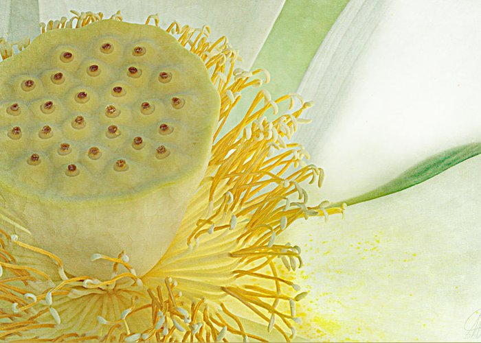 Lotus Greeting Card featuring the photograph Shine Your Light by Margaret Hormann Bfa