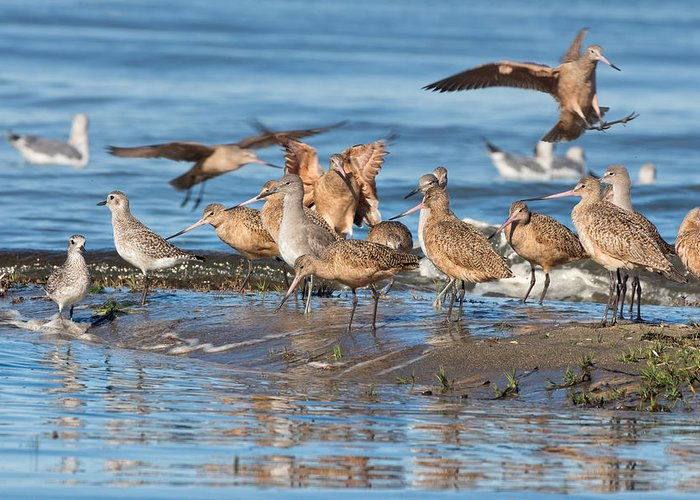 Marbled Godwit Greeting Card featuring the photograph Shorebirds Flocking At Bodega Bay by Kathleen Bishop
