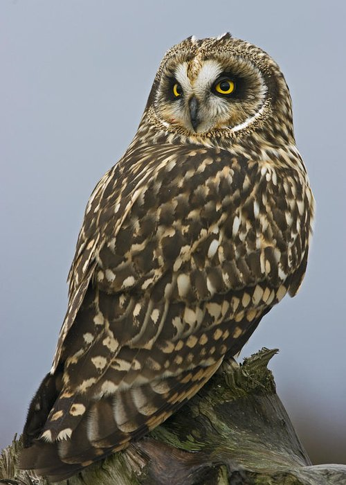 Owl Greeting Card featuring the photograph Short Eared Owl by Rob Mclean
