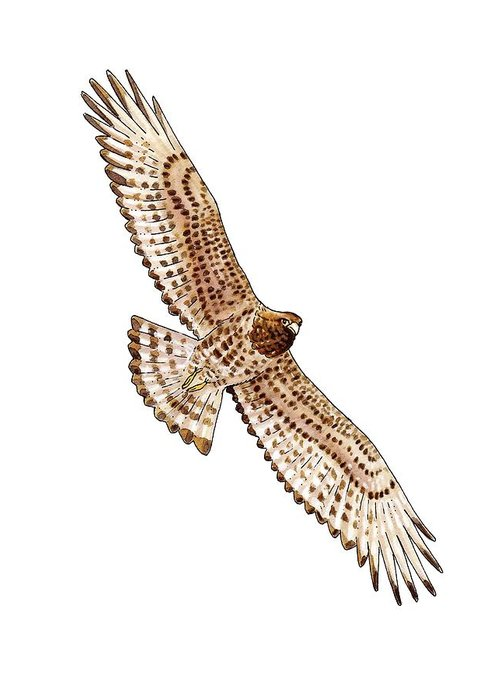 Cutout Greeting Card featuring the photograph Short-toed Eagle, Artwork by Science Photo Library