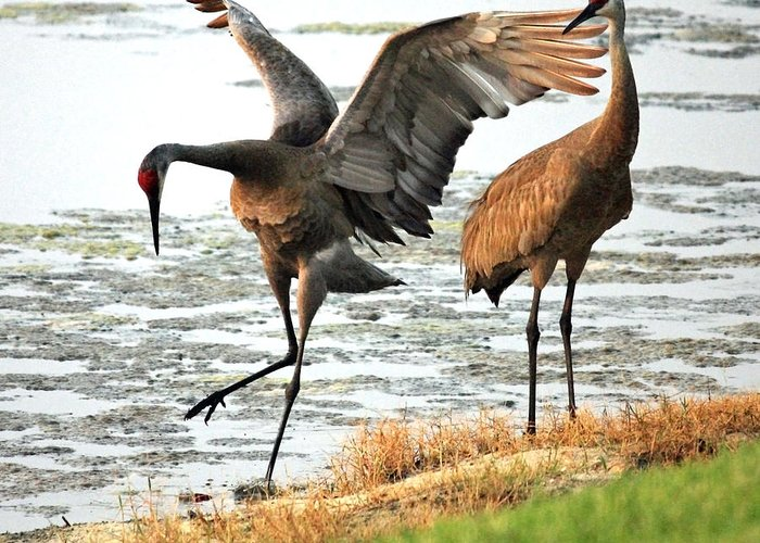 Sandhill Cranes Greeting Card featuring the photograph Showoff by Carol Groenen