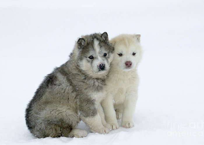 Siberian Husky Greeting Card featuring the photograph Siberian Husky Puppies by M. Watson