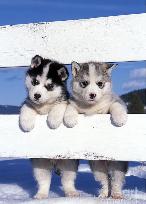 Siberian Husky Puppies Greeting Card For Sale By Rolf Kopfle