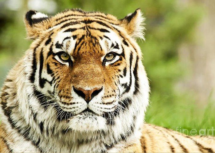 Siberian Greeting Card featuring the photograph Siberian Tiger Beautiful Closeup by Boon Mee