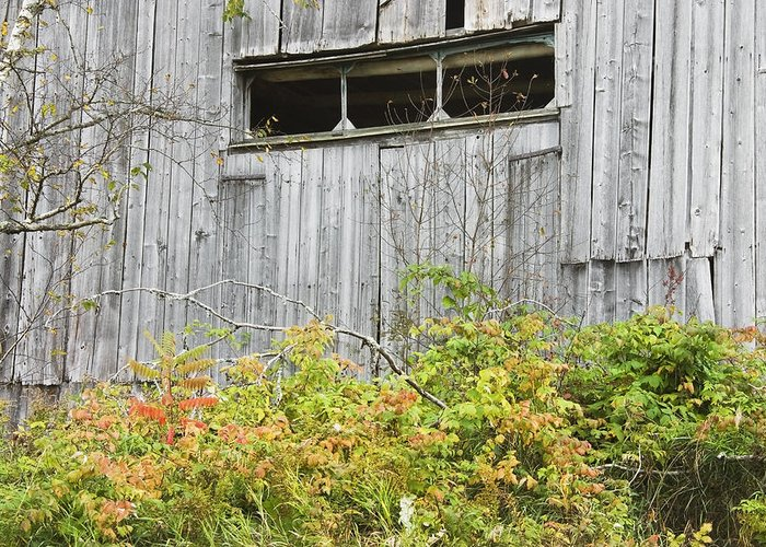 Building; Old; Old Building; Abandoned; Run-down; Architecture; Shed; Shack; Grunge; Structure; Window; Fall; Autumn; Weathered; Overgrown; Weeds; Country; Building Exterior; Rural; Rustic; Grass; Overcast; Wood; Siding; Maine; New England; Old Barn In Maine; Maine Barns; Old Barn; Weather Wood; Wooden Siding; Fall Foliage; Abandoned Building; Rustic; Rusctic Building; Maine Countryside; Country Living; Weathered Building; New England Barn Greeting Card featuring the photograph Side Of Barn In Fall by Keith Webber Jr