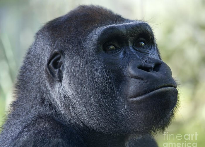 Lowland Gorilla Greeting Card featuring the photograph Sideways Glance by Liz Leyden