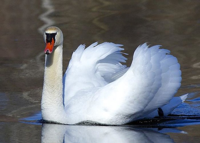 Swan Greeting Card featuring the photograph Silent Gracefulness by Kimberly Davidson
