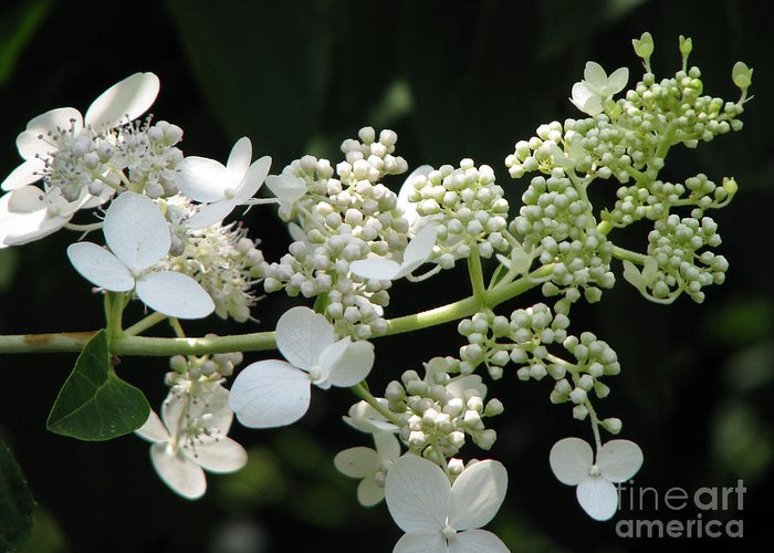 Hydrangea Greeting Card featuring the photograph Simply by Amanda Barcon