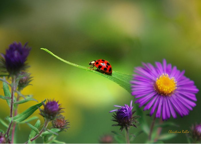 Ladybug Greeting Card featuring the photograph Single In Search by Christina Rollo
